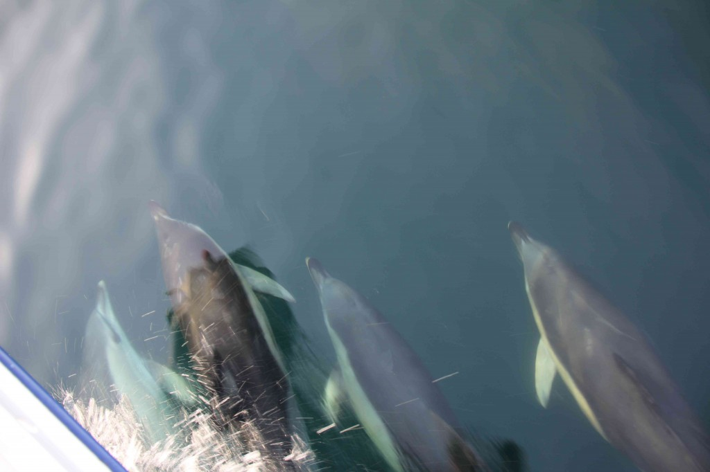 Dolfijnen rond de boeg in de Ierse Zee